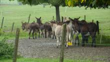 Elevage d'âne dans les environs du château